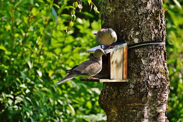 holubi na budce